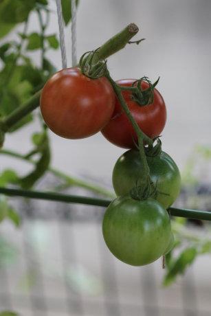 晩秋のトマト