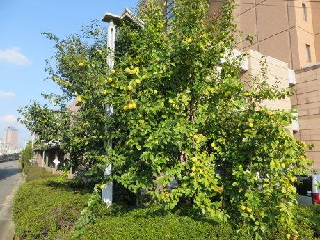 群馬県社会福祉総合センターの花梨