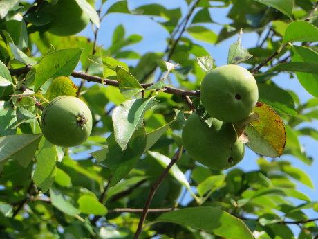 近所の花梨