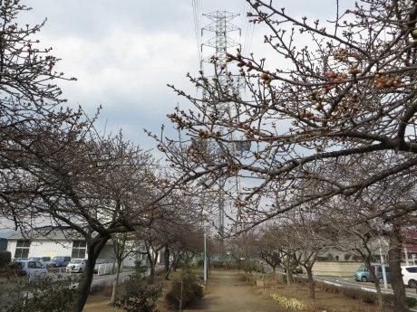 みろく緑地公園の河津桜