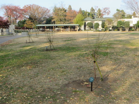 前橋公園に梅の木が