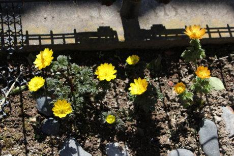 元気に咲いてる庭の福寿草