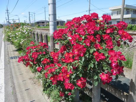 上越線沿いのバラがキレイです