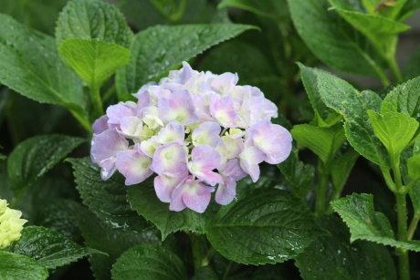 庭の紫陽花も・・・