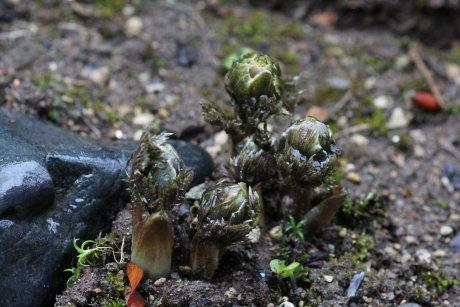 貧弱な庭の福寿草