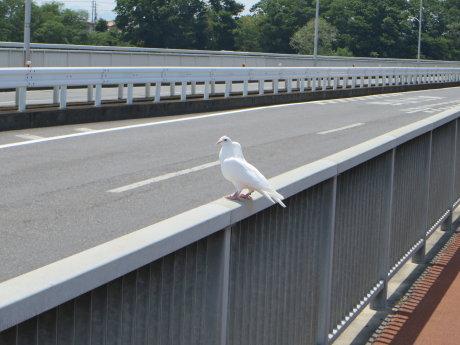 大渡橋に2羽の白い鳩