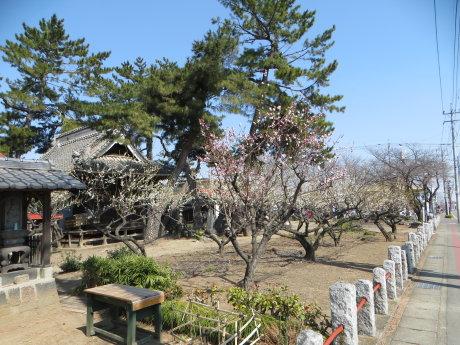 菅原神社の梅の花も見頃に