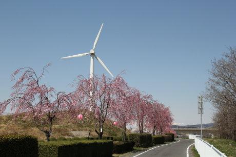 サイクリングロード沿いのしだれ桜