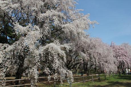 敷島公園のしだれ桜が見事です