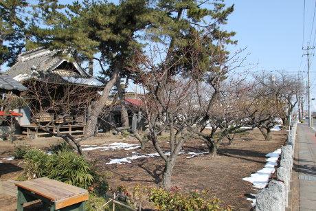 菅原神社の梅の花は