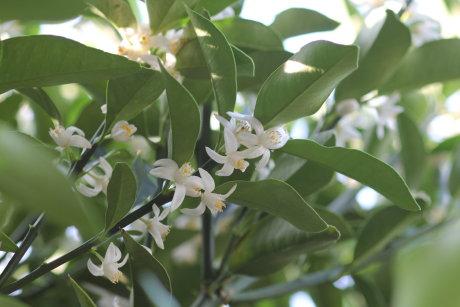 金柑の小さくて白い花