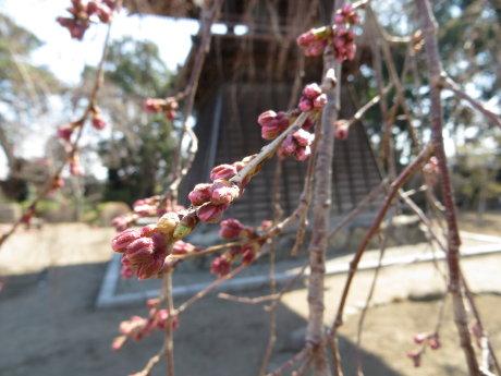 慈眼寺のサンシュユが見頃です