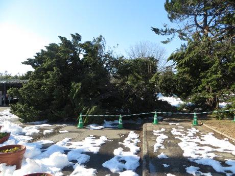 敷島公園の松林は立ち入り禁止に
