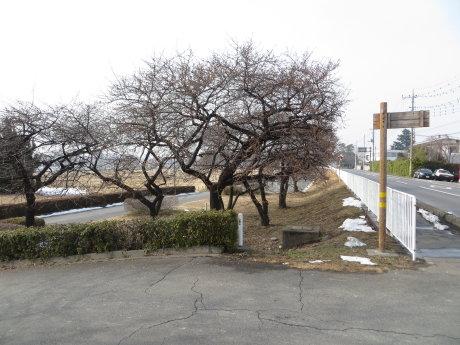 敷島の河津桜の開花はもう少し
