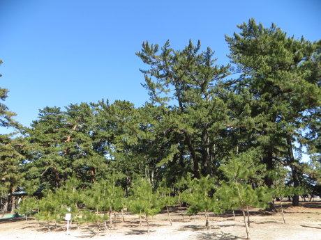 敷島公園の松林へ