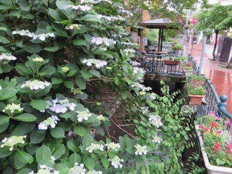 馬場川通りの紫陽花
