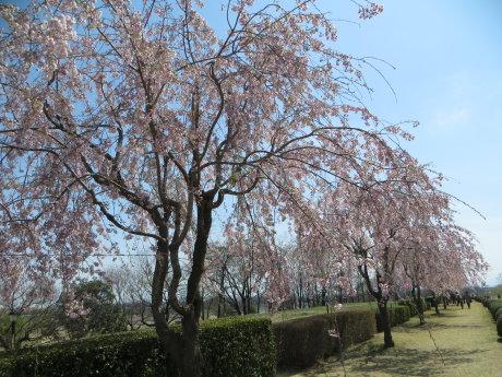 吉岡町の漆原 桜まつり