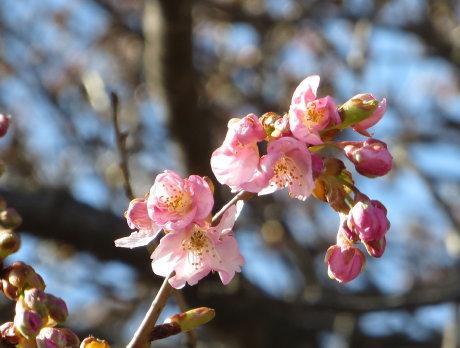敷島公園の河津桜も咲きだしました