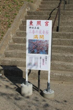 前橋東照宮の枝垂桜が満開だそうです