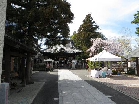 前橋東照宮の枝垂桜が満開