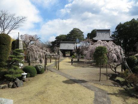 慈眼寺のしだれ桜が咲き始めてきました
