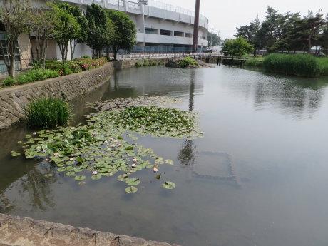 敷島公園の睡蓮の花