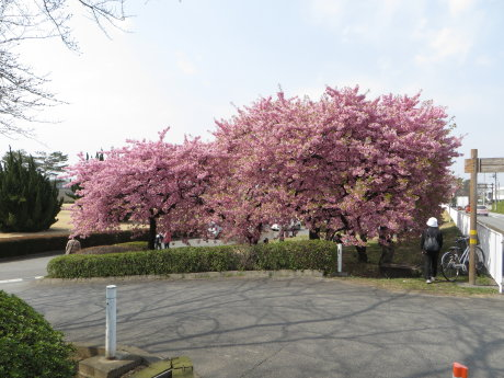 敷島公園近くの河津桜、満開です