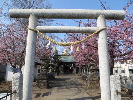 鏡神社の桜も見頃に