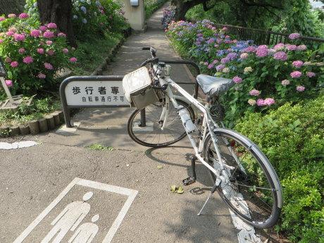 石倉町の紫陽花の小道