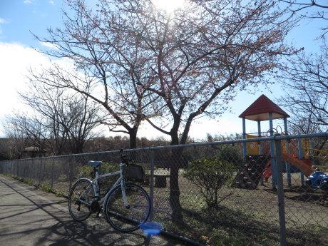 高崎の公園に河津桜?