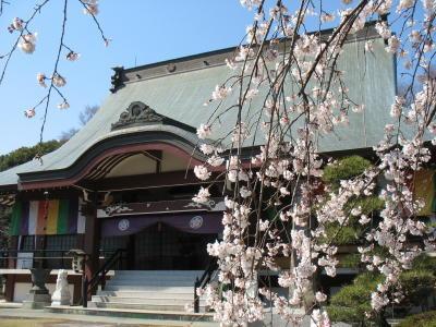 慈眼寺のしだれ桜が見頃です