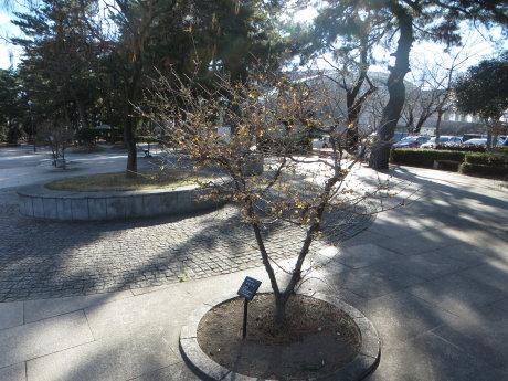 敷島公園のロウバイ咲きだしました