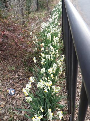サイクリングロード脇に水仙の花