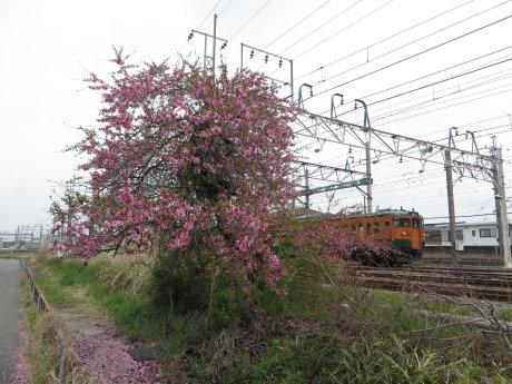 新前橋駅近くに花桃