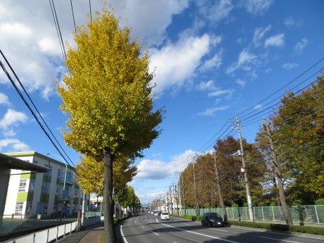 黄色く色づいた産業道路のイチョウが・・・