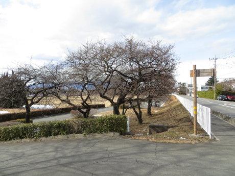 敷島公園の河津桜は・・・