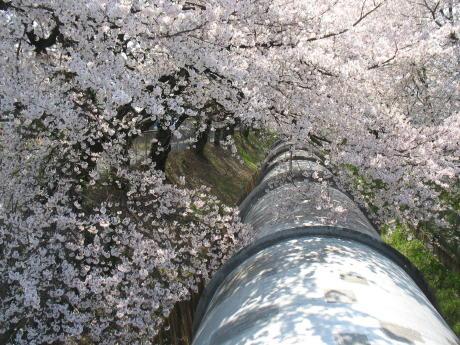 佐久発電所の桜は満開でした