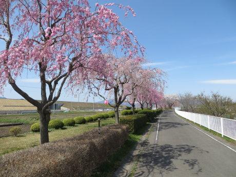 ソメイヨシノが見頃の佐久発電所までサイクリング