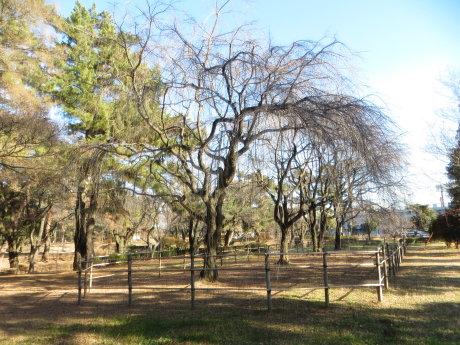 敷島公園のしだれ桜は