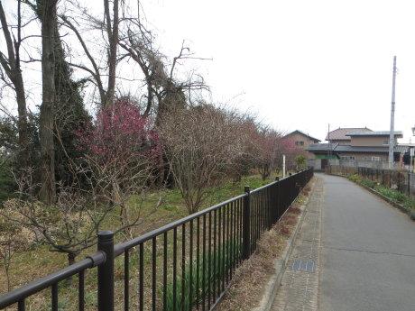 サイクリングロード沿いに梅の花^^