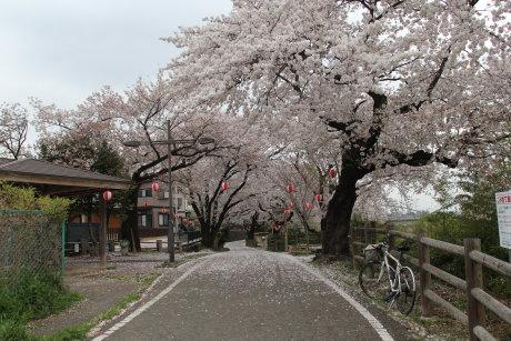「そして父になる」ロケ地の桜並木