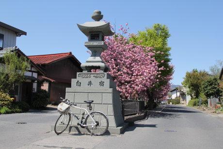 白井宿の八重桜が見頃です