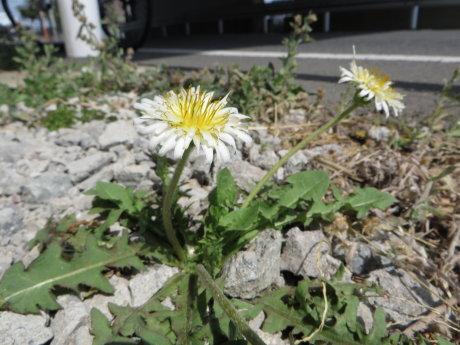 白いたんぽぽの花