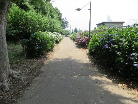 育英高校近くにたくさんの紫陽花