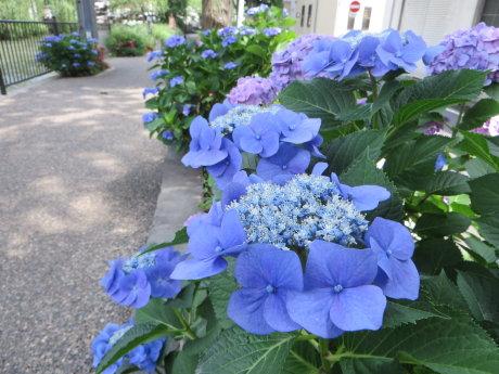 広瀬川詩の道の紫陽花