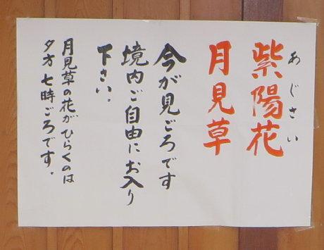 大蓮寺の月見草と紫陽花