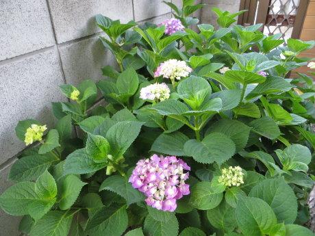 庭の紫陽花もだいぶ色づいてきました~