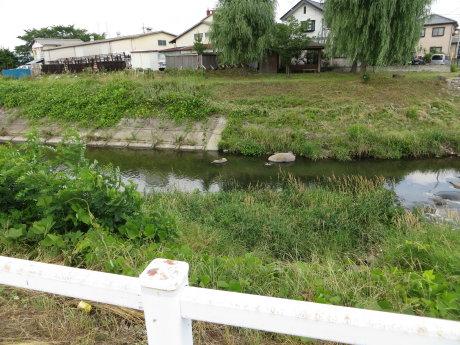 井野川にスッポンが
