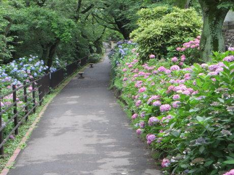 石倉町の緑公園の紫陽花まだ咲いてます