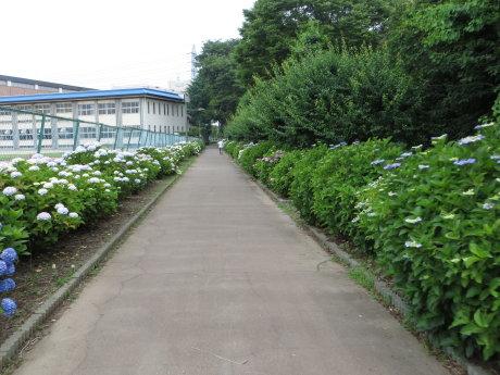 育英高校の裏手は紫陽花の小路